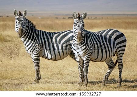 Wild zebras in Serengeti Protected Area. Tanzania