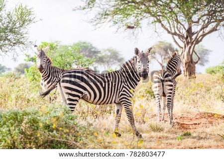 Wild zebras on savanna, Tsavo West National Park, Kenya.