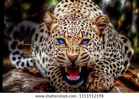 wildcat leopard angry face