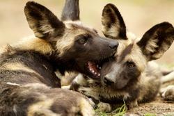 Wilddog love