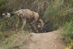 Wilddog puppies at a den site on safari in South Africa