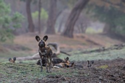 Wilddogs in soft light in Mana Pools National Park, Zimbabwe