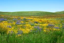 Wilde flowers on prairie in the waterton lakes national park, alberta, canada