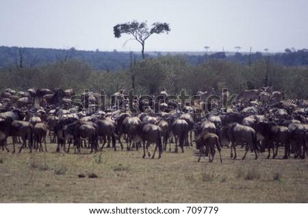 Wildebeest and Burchell's zebra gather in herd - near river crossing - Maasai Mara, Kenya