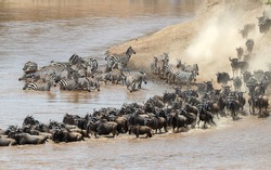 Wildebeest and zebra cross the Mara River during the annual great migration in theMasai Mara, Kenya