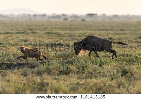 wildebeest chasing off a hyena in open plain, serengeti, tanzania