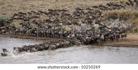 Wildebeest crossing the Mara River During Migration