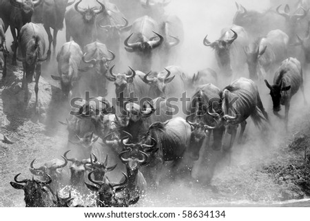 Wildebeest crossing the Mara River during the migration, Serengeti, Tanzania