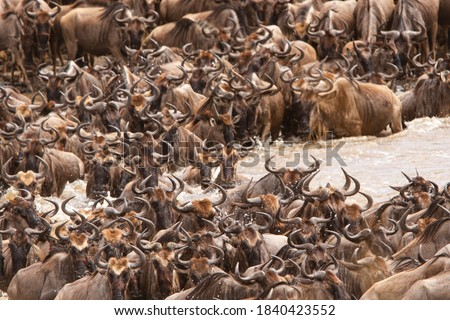 Wildebeest crossing the Mara River in the northern Serengeti National Park, Tanzania Photo stock ©