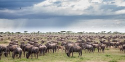 Wildebeest during the big migration in the Serengeti National Park in may - the wet and green season- in Tanzania