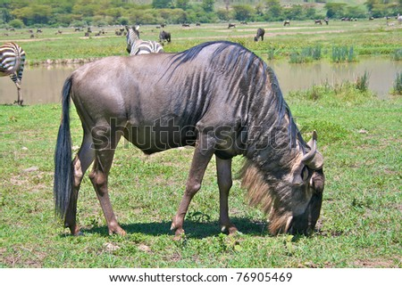 Wildebeest eating grass in Serengeti national park
