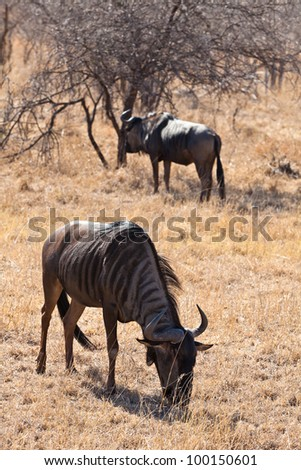 Wildebeest grazing grass in a National park