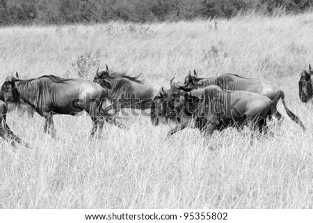 Wildebeest herds head towards the Talek River during the Great Migration (black & white).