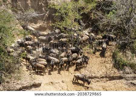 Wildebeest hordes crossing the river, a magnificent view of the savanna (Masai Mara National Reserve, Kenya) Stock fotó ©
