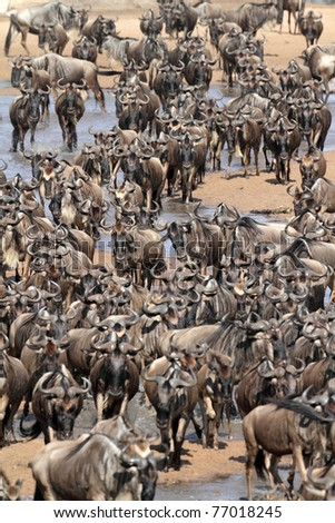 Wildebeest migration crossing the Mara River, Serengeti National Park, Tanzania, East Africa