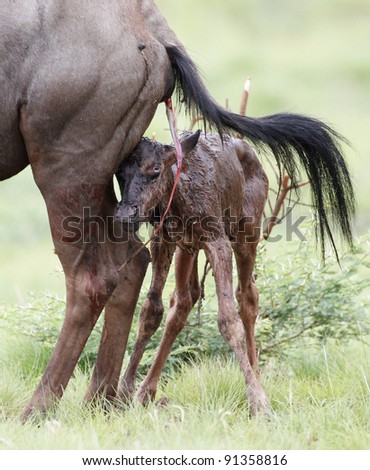 Wildebeest newly born and Mother