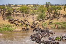 Wildebeest River Crossing During The Great Migration Mara River Tanzania