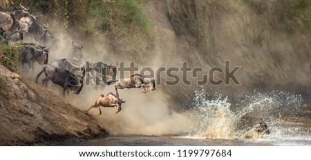 Wildebeests are crossing  Mara river. Great Migration. Kenya. Tanzania. Maasai Mara National Park. An excellent illustration.