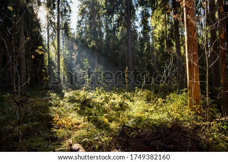Wilderness forest marge sun rays view. Dark wilderness forest marge. Forest wilderness sunlight scene