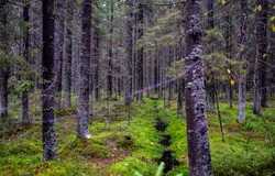 Wilderness mossy forest trees background. Depp forest trees in moss. Green moss wilderness forest trees. Forest moss