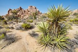 Wilderness of the Joshua Tree National Park, California, USA.