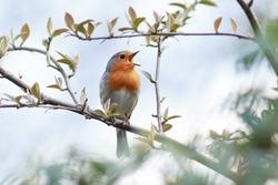Wildeshausen (Low Saxon: Wilshusen), Lower Saxony, Germany. Robin (Erithacus rubecula).Wild bird in a natural habitat.