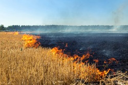 Wildfire on wheat field stubble after harvesting near forest. Burning dry grass meadow due arid climate change hot weather and evironmental pollution. Soil enrichment with natural ash fertilizer