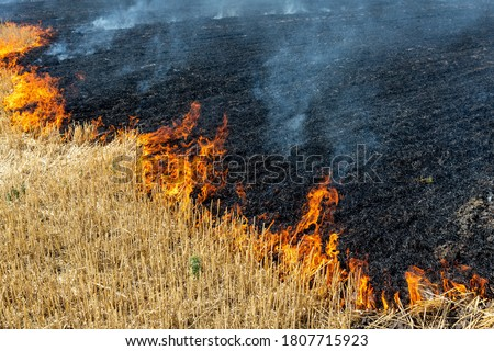 Wildfire on wheat field stubble after harvesting near forest. Burning dry grass meadow due arid climate change hot weather and evironmental pollution. Soil enrichment with natural ash fertilizer Сток-фото ©