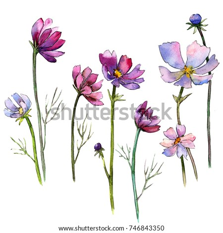 Wildflower aster flower in a watercolor style isolated. Full name of the plant: aster. Aquarelle wild flower for background, texture, wrapper pattern, frame or border.