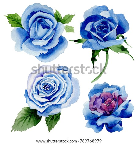 Wildflower blue rose flower in a watercolor style isolated. Full name of the plant: rose, hulthemia, rosa. Aquarelle wild flower for background, texture, wrapper pattern, frame or border.