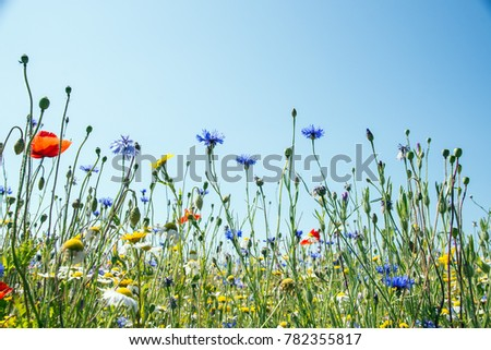 wildflower Meadow, Newchurch Isle of Wight. May 2017. Cornflowers, poppies, daisies and other wild flowers