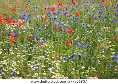 Wildflower meadow with poppies, cornflowers and daisies
