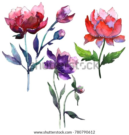 Wildflower peony flower in a watercolor style isolated. Full name of the plant: peony. Aquarelle wild flower for background, texture, wrapper pattern, frame or border.