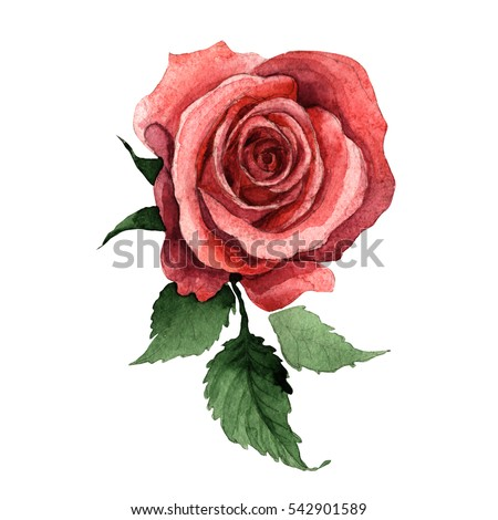 Shutterstock Wildflower rose flower in a watercolor style isolated. Full name of the plant: rose, hulthemia, rosa. Aquarelle wild flower for background, texture, wrapper pattern, frame or border.