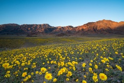 Wildflower super bloom in spring, Death Valley National Park, California