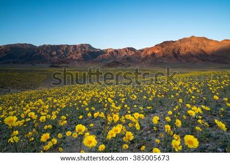Wildflower super bloom in spring, Death Valley National Park, California