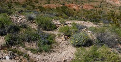 Wildflowers and Shrubs gorw in the high arid desert of southern California near Death Valley National Park.
