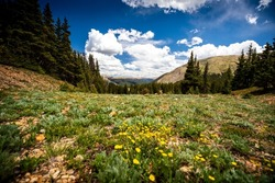 Wildflowers bloom in a meadow on Revenue Mountain in the Upper Geneva Creek near Grant, Colorado on a sunny summer day in the Rocky Mountains.