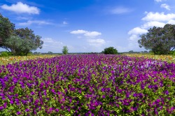 Wildflowers, featuring purple petunias, in springtime bloom