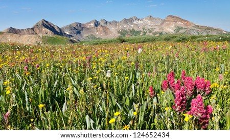 Wildflowers galore on alpine meadow in Rocky Mountains in Colorado.