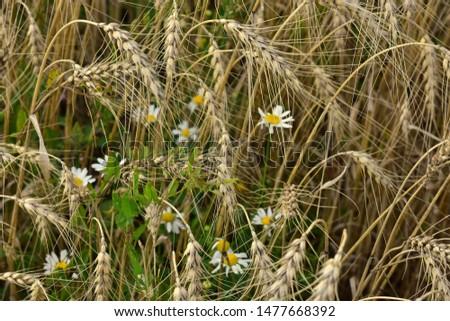 Wildflowers grow in a rye field with a rye ear #1477668392