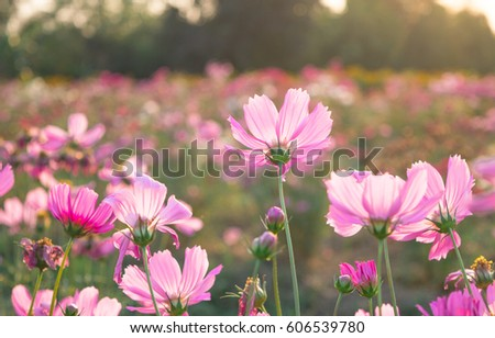 Wildflowers meadow in pink color on farm with some flare of sun in the evening time.
