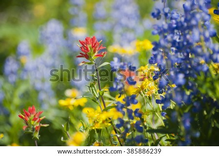 Wildflowers on Mt. Baker. A colorful carpeting of wildflowers decorates the hillside of Mt. Baker, Washington along the Heliotrope Ridge hiking trail. Lupine, Indian Paintbrush, and Yellow Asters.