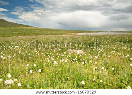 Wildflowers on the tundra in Colorado.
