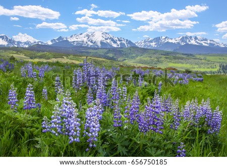 Wildflowers (Wild Lupine) blossoming in the open fields of Colorado with the Rocky Mountains serving as the backdrop. #656750185