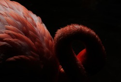 Wildlife. Abstract. Isolated pink flamingo portrait with a black background. Beautiful neck and feathers creating texture and light effects.