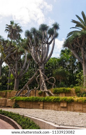 Wildlife and vegetation. Dracaena (dragon tree) with powerful roots and thick trunk. #1133923082