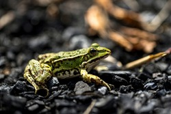 wildlife and wild animals, profile view of a green water frog