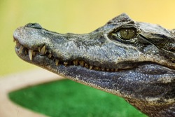 Wildlife animals - wild reptile crocodile mouth and teeth