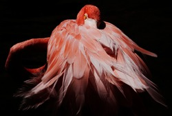 Wildlife. Bird watching. Isolated pink flamingo portrait with a dark background. Beautiful feathers creating motion sensation.